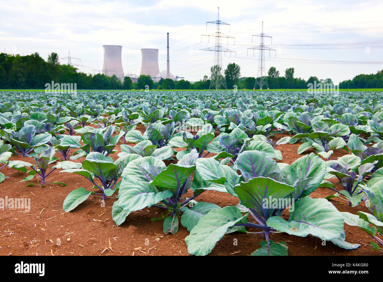 Grafenrheinfeld nuclear power station, field with red cabbage, Lower Franconia, Bavaria, Germany - Stock Image