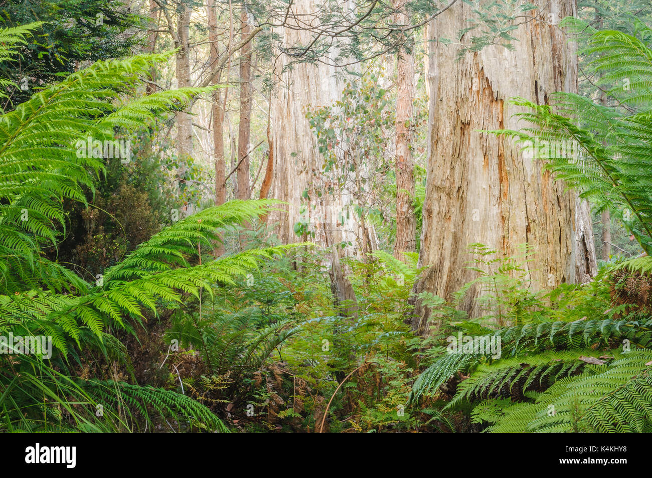 Dense eucalyptus forest at Lake St Clair. - Stock Image