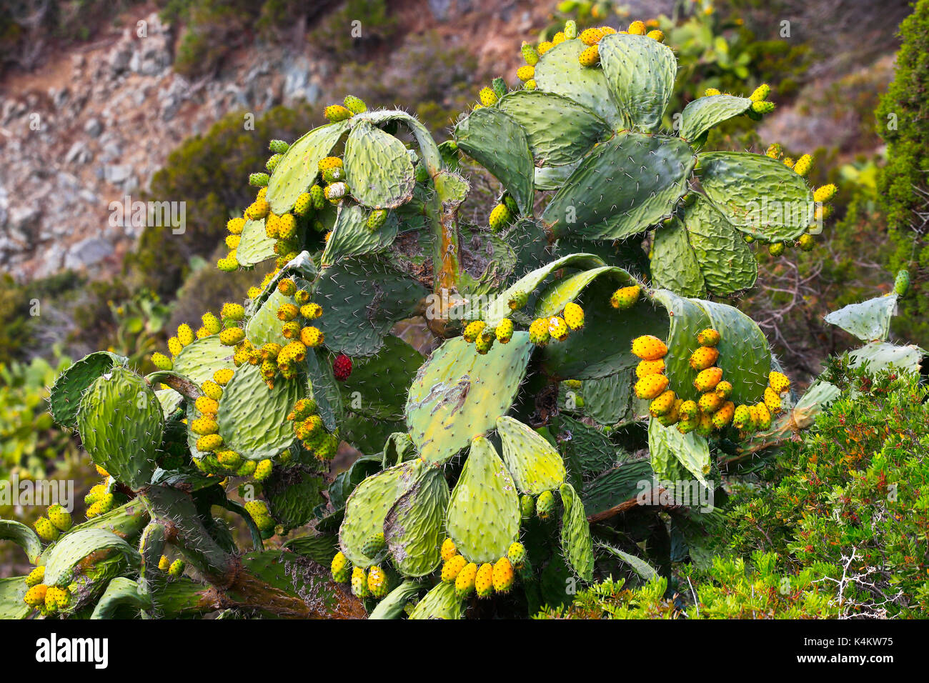 Prickly pear cactus fruit, Sardinia, Italy - Stock Image