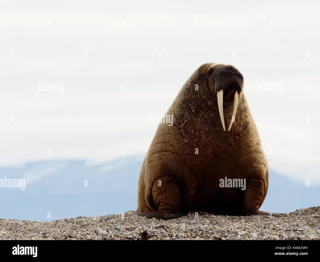 Majestic adult walrus on a beach in Svalbard, Norway - Stock Image