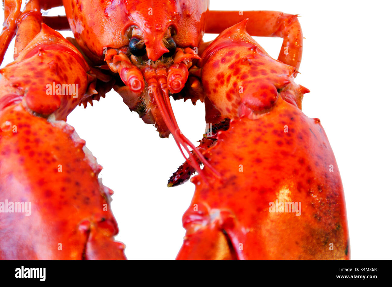Cooked lobster isolated on white background - Stock Image