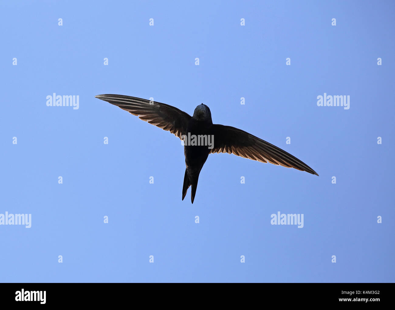 Common Swift (Apus  apus) Ottenby, Öland, Sweden - Stock Image