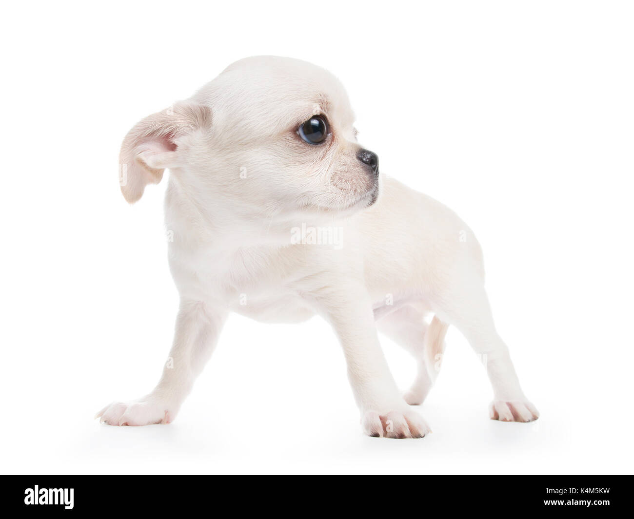 Chihuahua cobby type white purebred puppy. Isolated on white - Stock Image