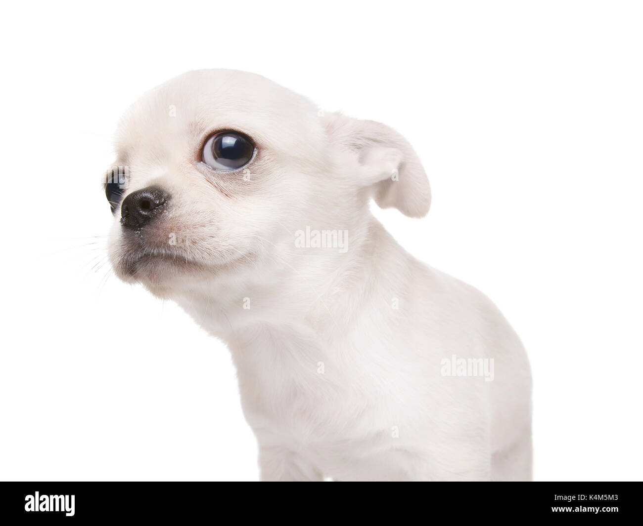 Small puppy dog looking at something. Purebred cobby type chihuahua. Isolated on white - Stock Image