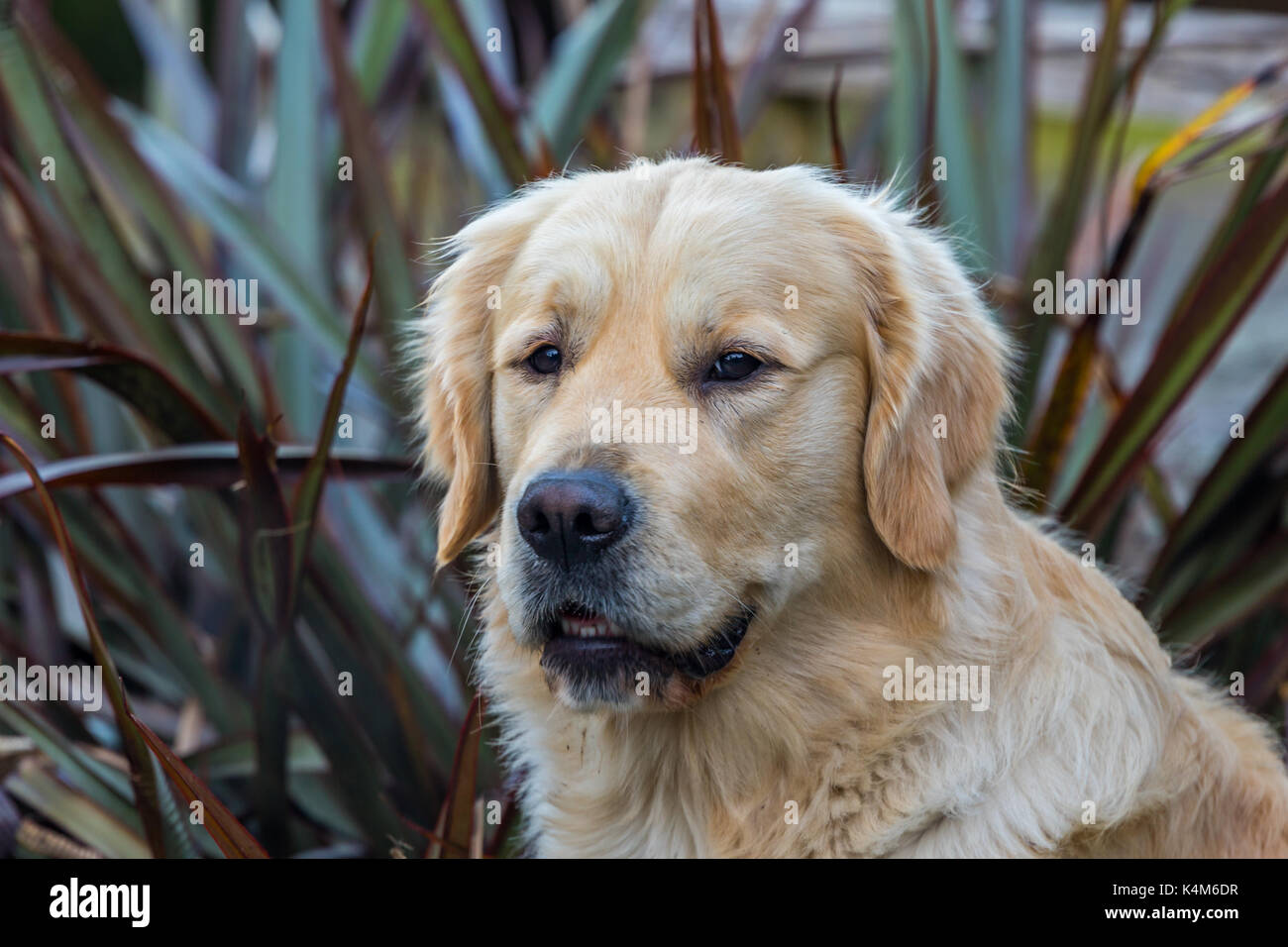 Portraits of pure breed Golden Retriever dogs - Stock Image