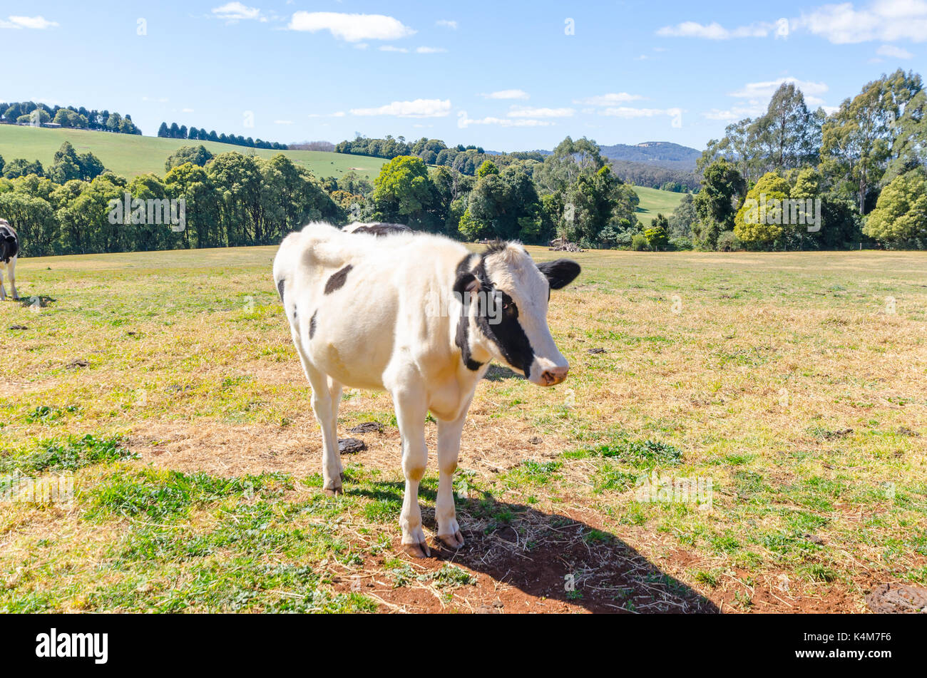 Cattle on rural property in Wildes Meadow New South Wales Australia - Stock Image