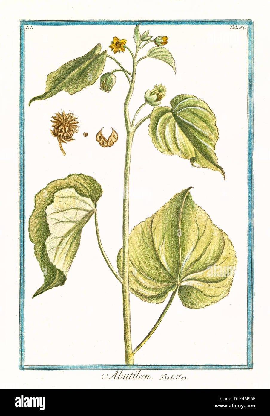 Old illustration of Abutilum. By G. Bonelli on Hortus Romanus, publ. N. Martelli, Rome, 1772 – 93 - Stock Image