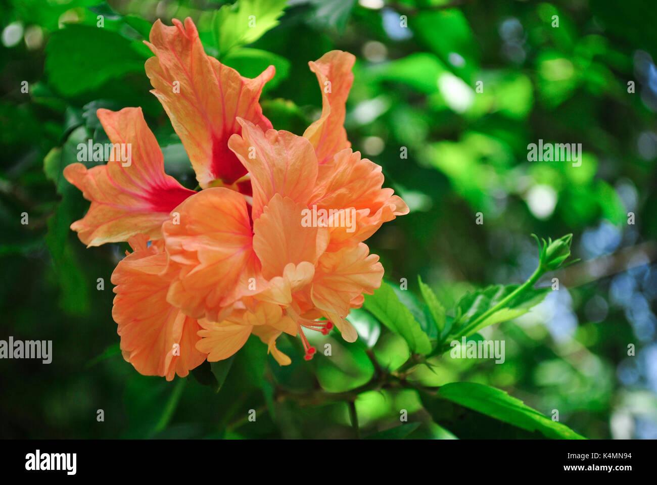 Peach Hibiscus Stock Photos & Peach Hibiscus Stock Images - Alamy