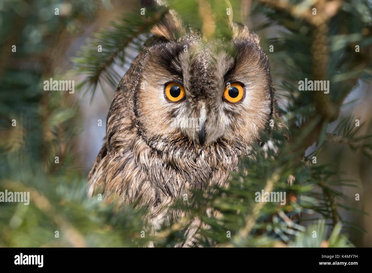 Long-eared owl (Asio otus), captive, United Kingdom, Europe - Stock Image