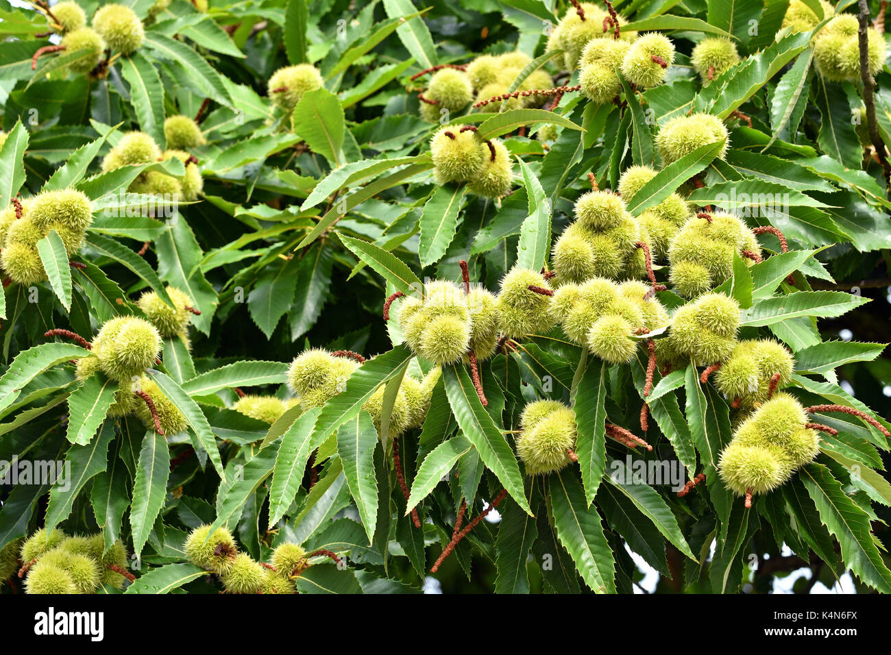 Close up of sweet chestnuts growing on a tree - Stock Image