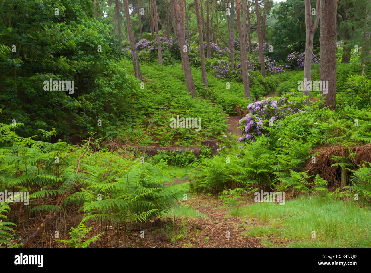 Rhododendrons growing among the pine trees that make up part of the varied heathland landscape of Dersingham Bog Stock Photo