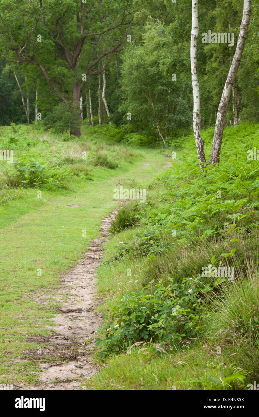 A path enters woodland on the edge of Dersingham Bog, part of the varied heathland landscape to be found near Kings Stock Photo