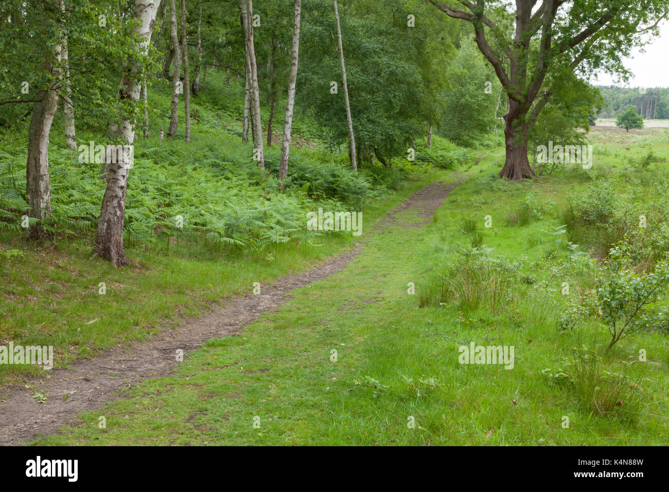 A path emerges from woodland onto the open heathland landscape of Dersingham Bog, part of the royal Sandringham Stock Photo
