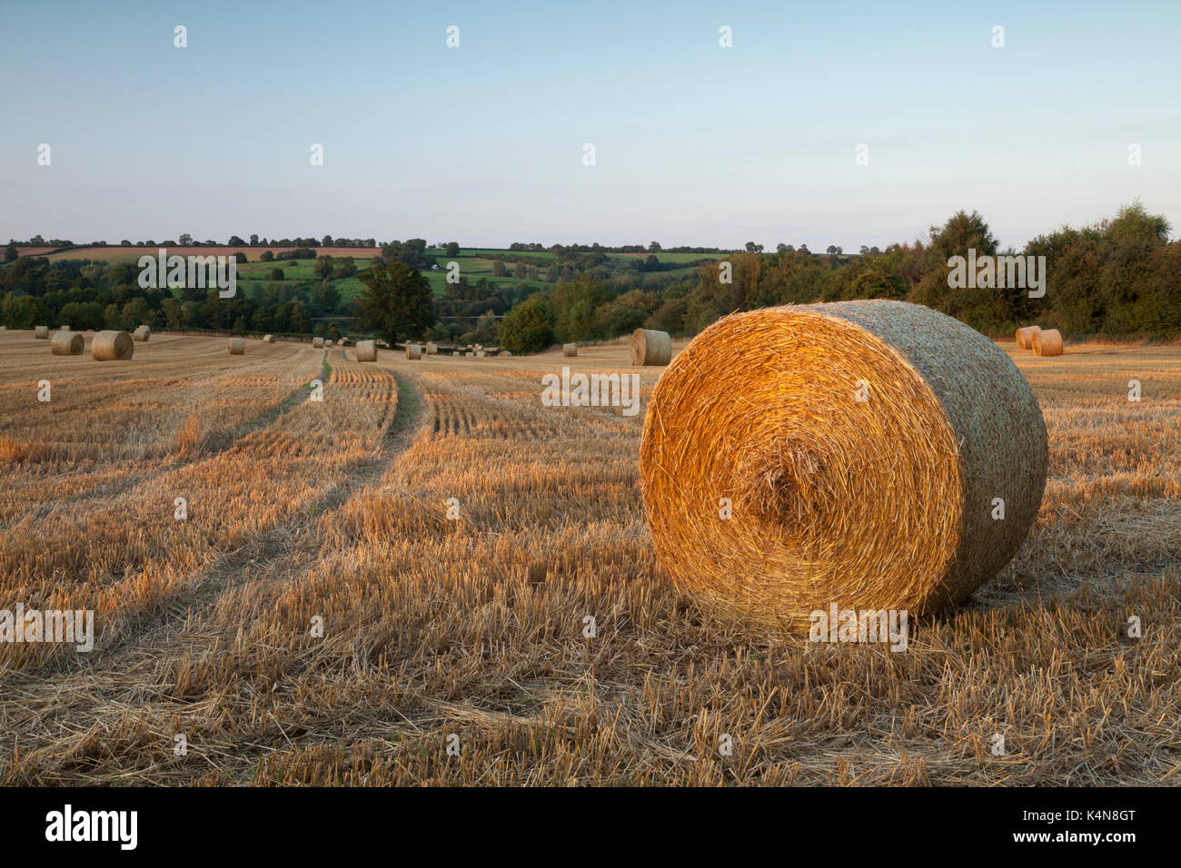 A field of round wheat straw bales bathed in warm evening sunlight near sunset, Ravensthorpe in Northamptonshire, England. - Stock Image