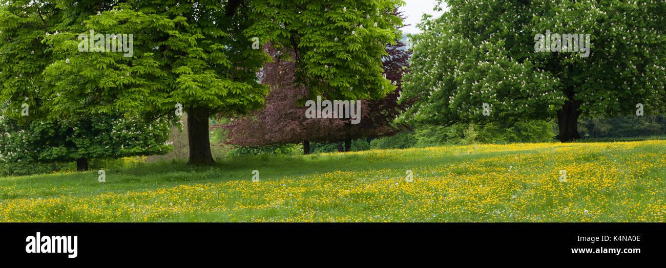 Parkland Horse Chestunt (Aesculus hippcastanum) trees and meadow buttercups (Ranunculus), Hughenden Manor, Chiltern Hills, Buckinghamshire, England. - Stock Image
