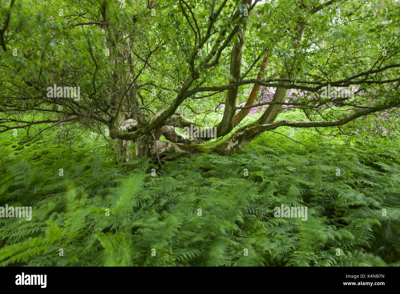 An old silver birch tree (Betula pendula) with spreading moss-covered branches growing among bracken and rhododendron's, Wolferton, Norfolk, England. - Stock Image