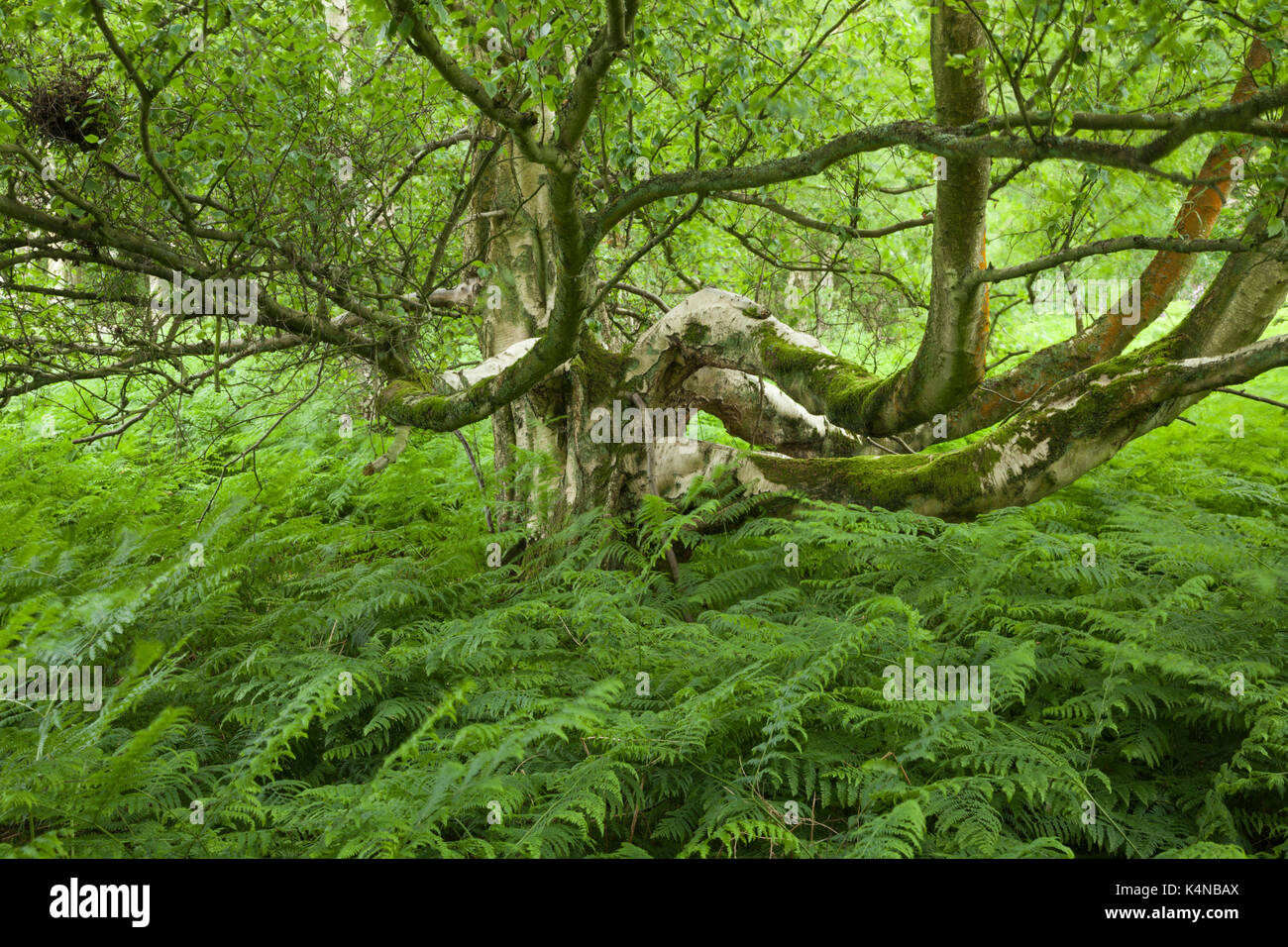 An old silver birch tree (Betula pendula) with spreading moss-covered branches growing among lush green bracken Stock Photo