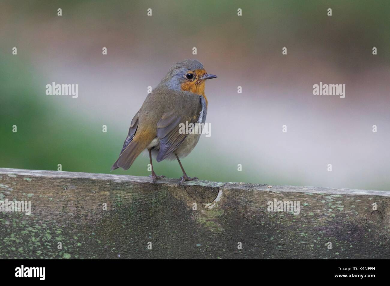Robin perched on wooden fence - Stock Image
