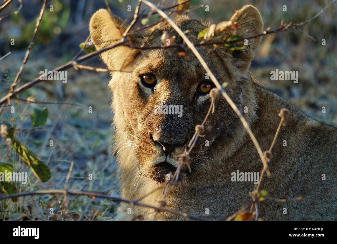 Lioness face watching - Stock Image