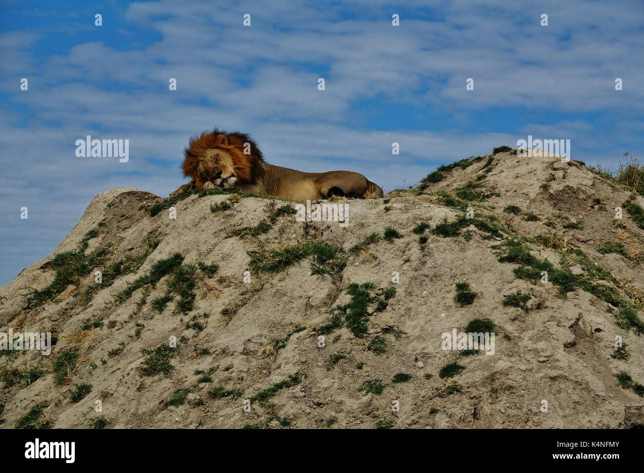 Lion sleeping on hill - Stock Image