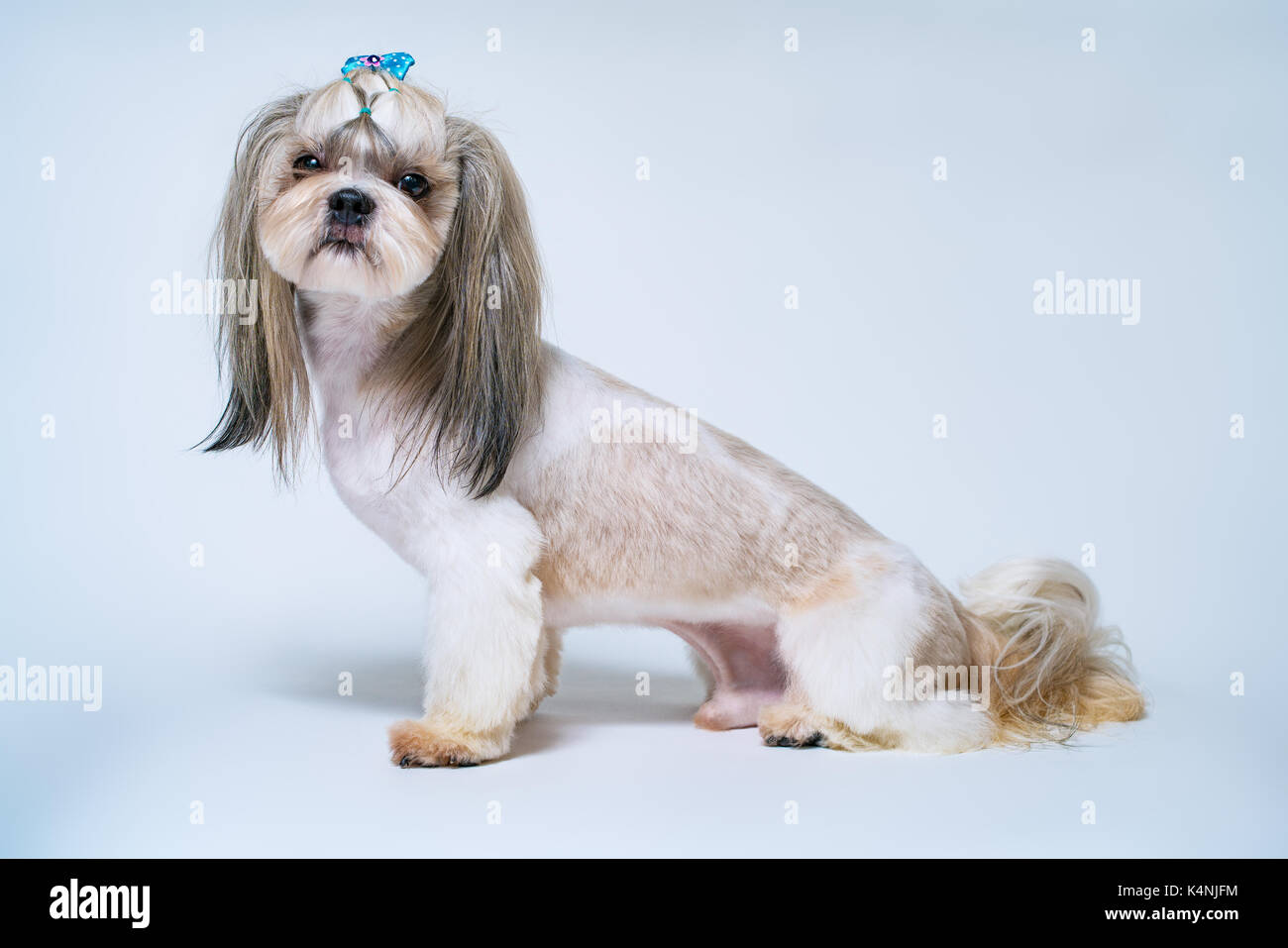 Shih Tzu Dog With Short Hair After Grooming Side View On Bright