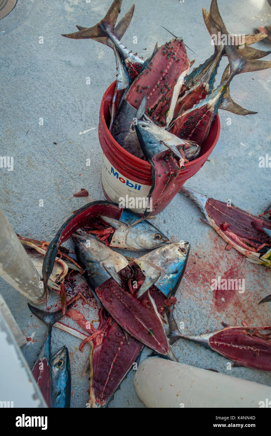 FORT LAUDERDALE, USA - JULY 11, 2017: Tuna fish bait with some fly over the fish, inside of a red bail used for Stock Photo