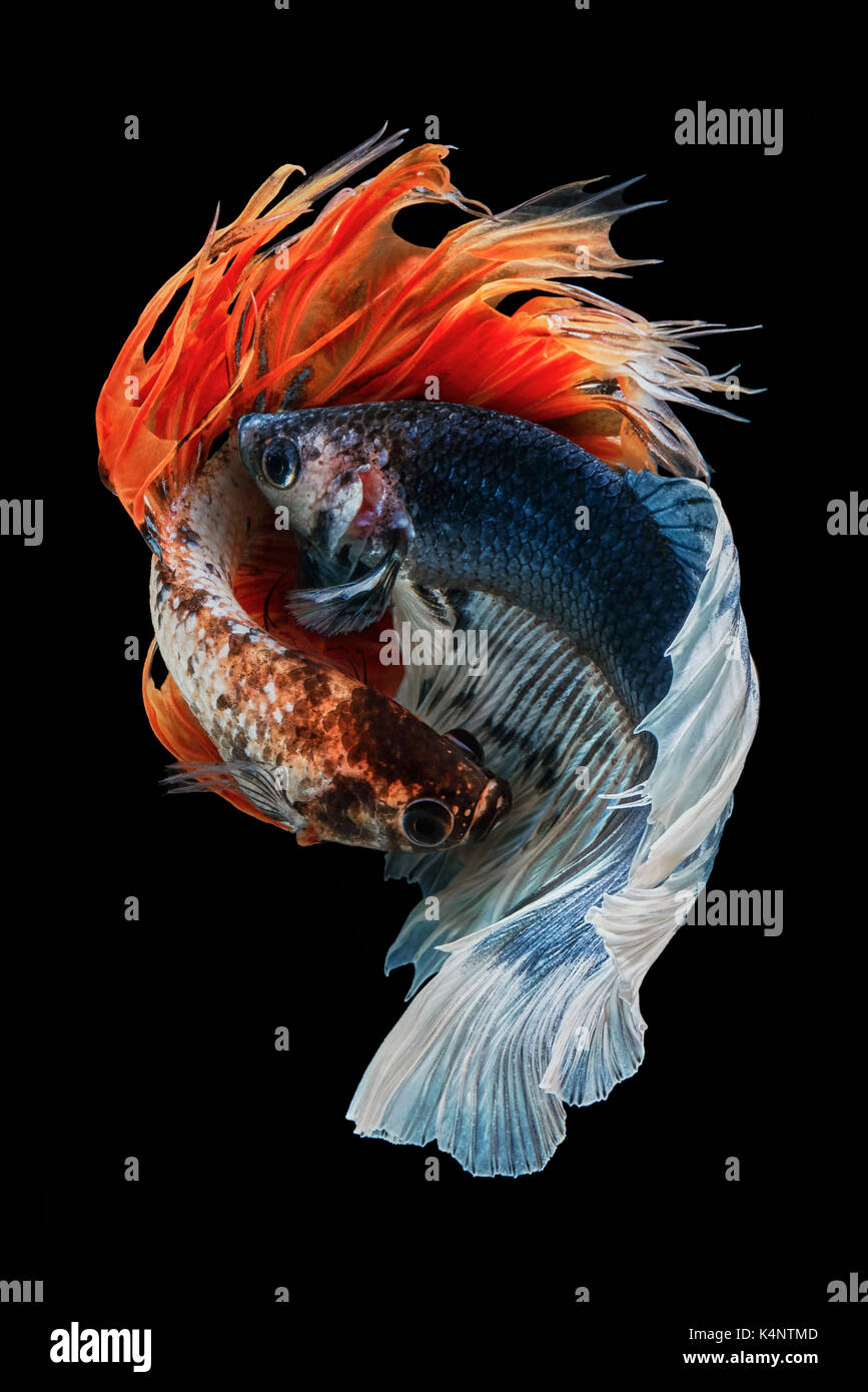 "Betta fish, Betta splendens Siamese fighting fish ""Half moon VS Crown tail"" nine Stock Photo"