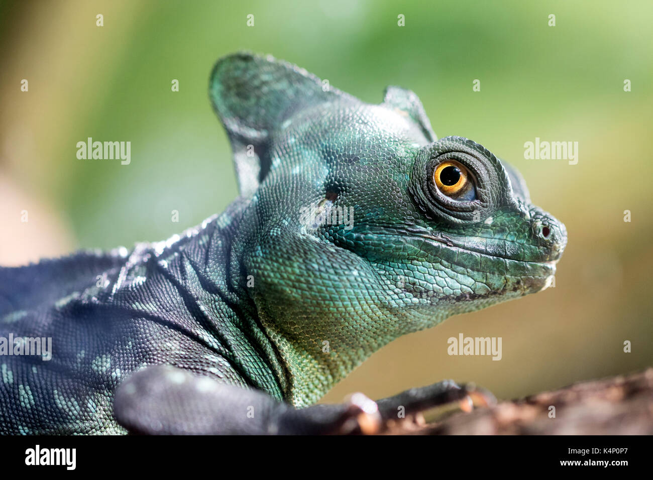 Close up of the Green Crested Basilisk (Basiliscus plumifrons). Also known as the jesus christ lizard as it can Stock Photo