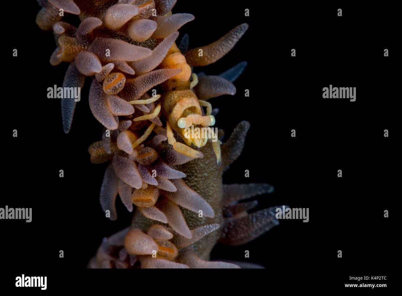 Zanzibar Whip Coral Shrimp on Black Background - Stock Image