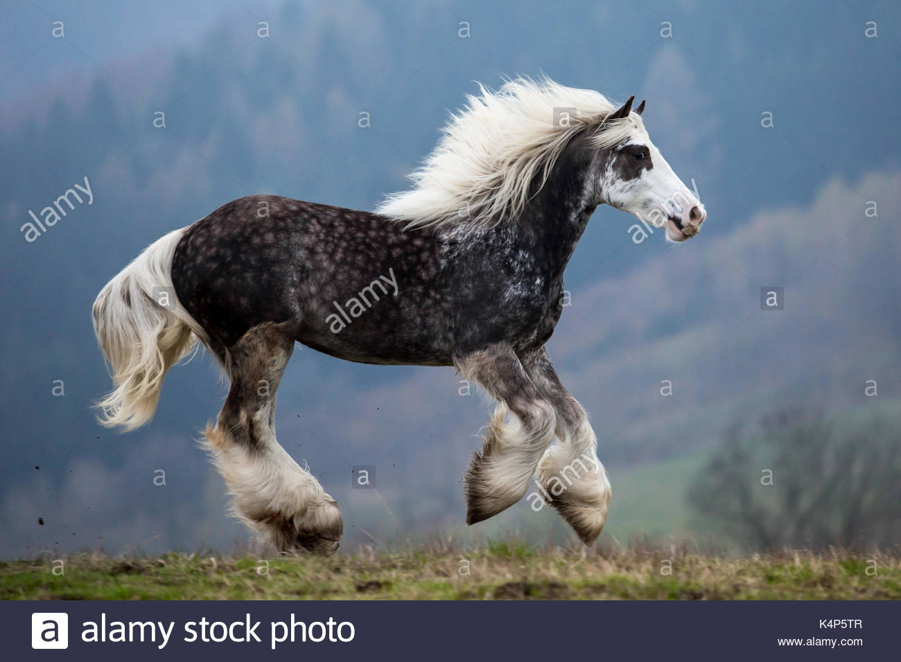 Silver black dapple gypsy horse cob banner filly - Stock Image