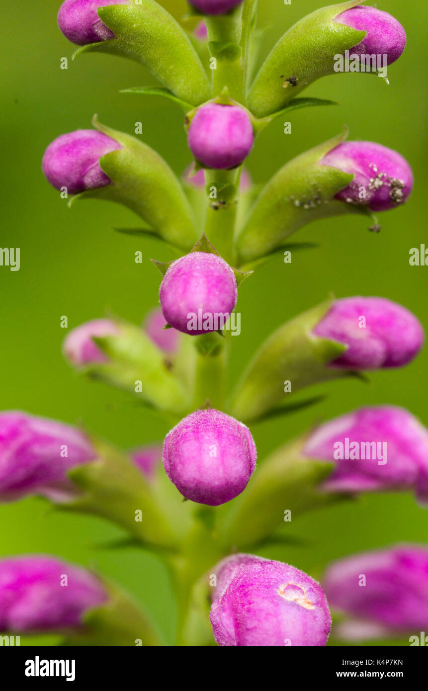 The Obedient plant or false dragonhead add late season colour to the garden. - Stock Image