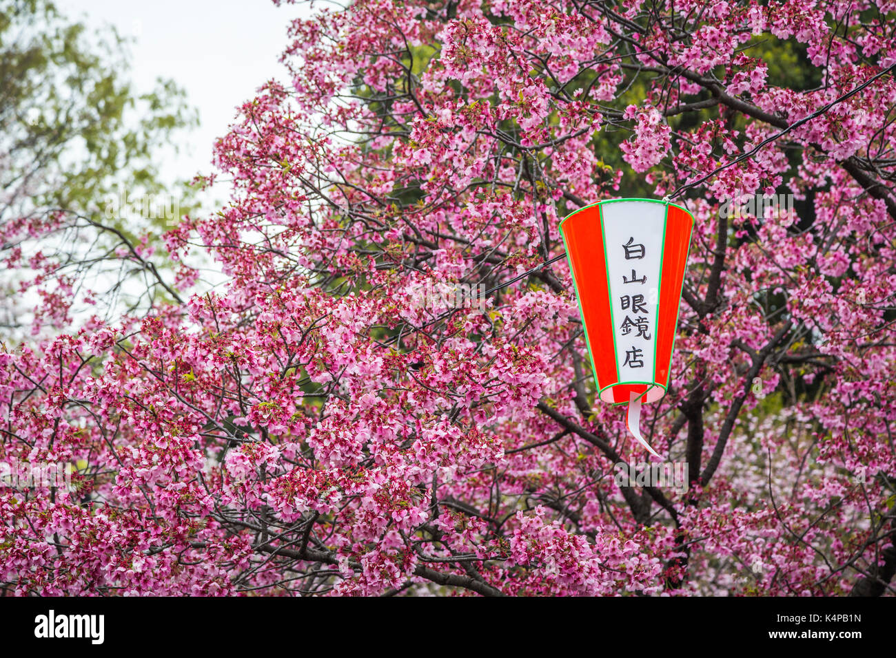 Cherry Blossom Trees And Decorative Lanterns In Ueno Onshi Park