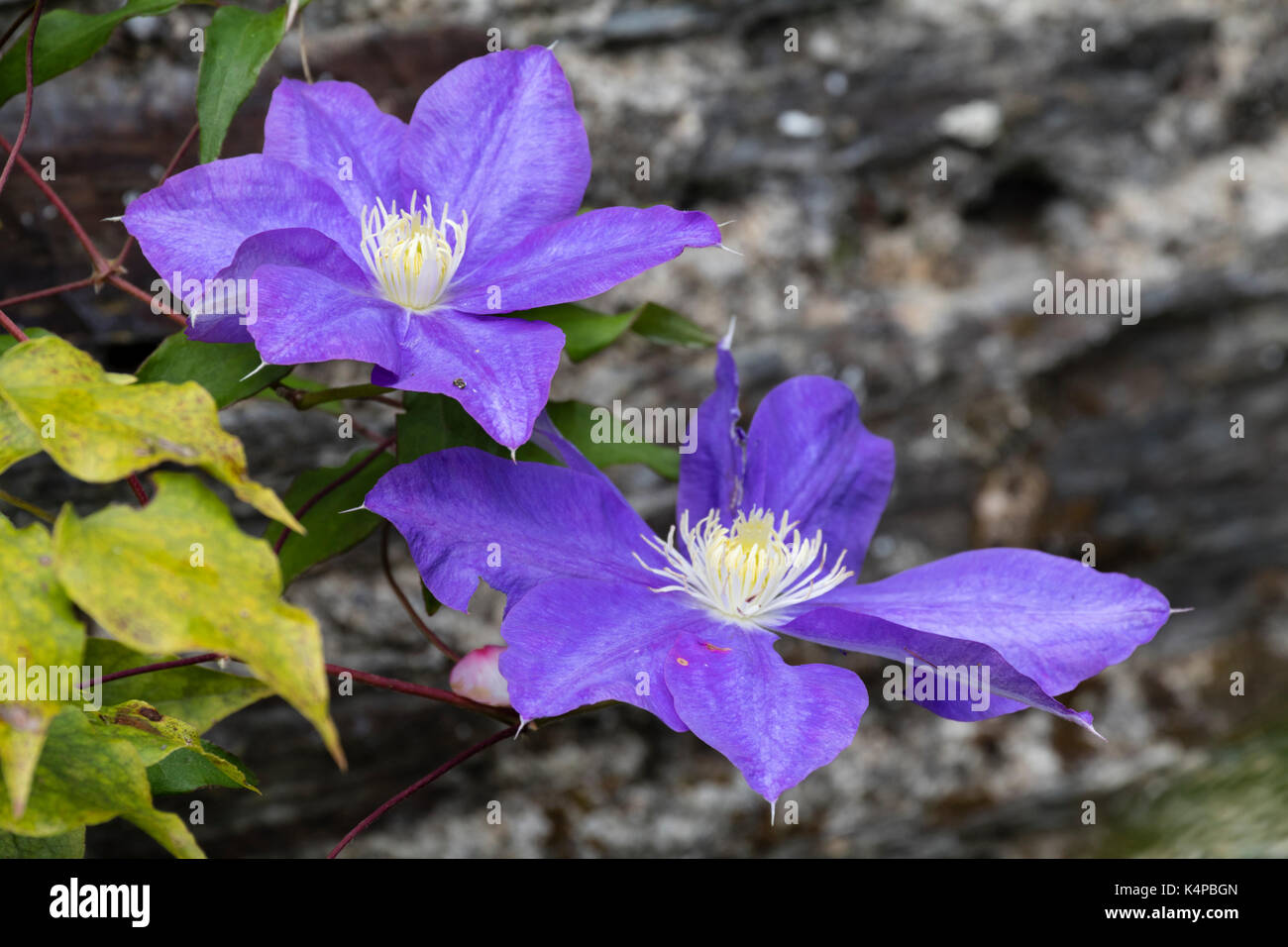 Lare,blue flowers of the hardy climber, Clematis 'General Sikorski', taken during it's later summer flowering period - Stock Image