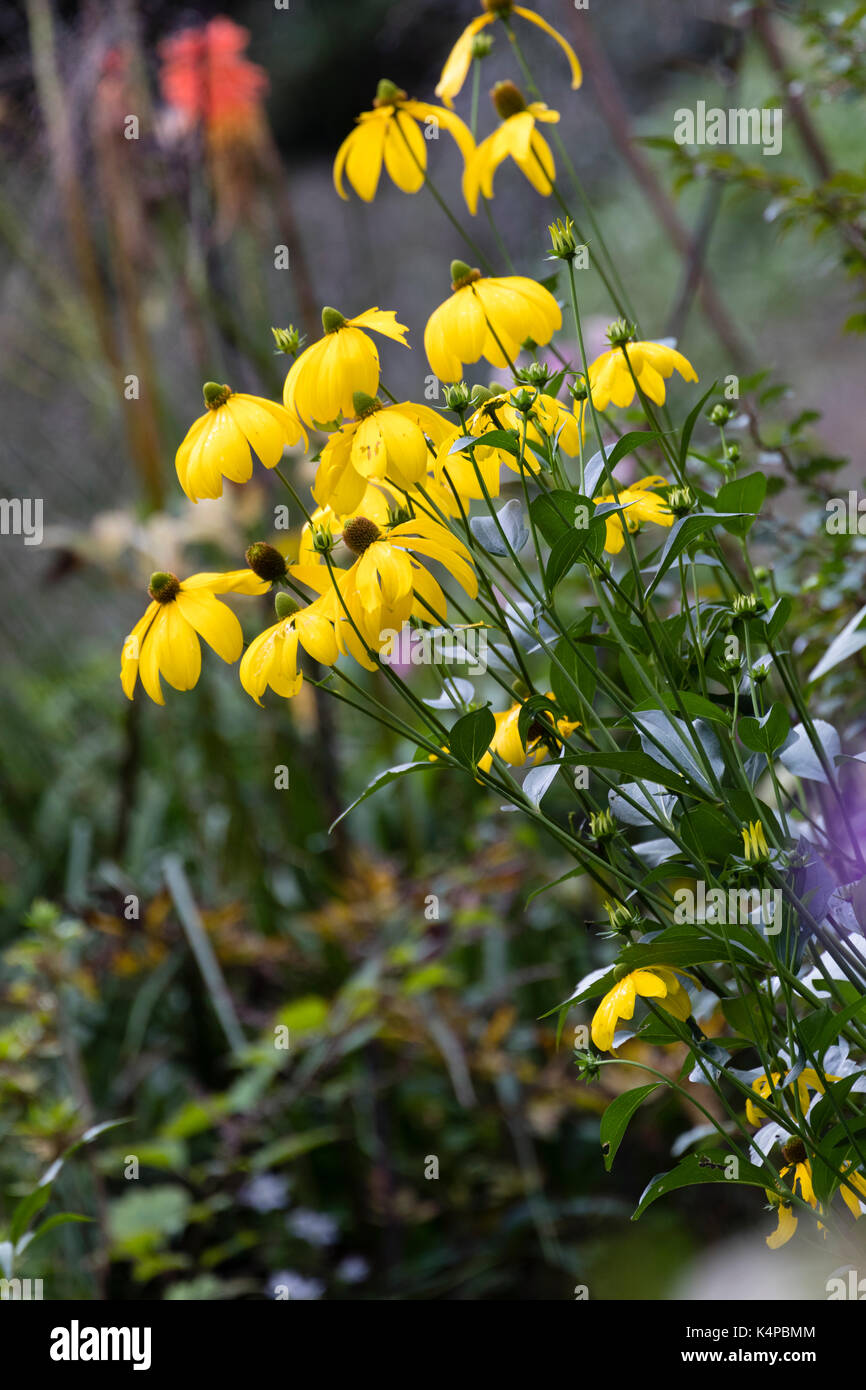 Yellow, late summer flowers of the hardy perennial cut leaved cone flower, Rudbeckia laciniata 'Herbstsonne' - Stock Image
