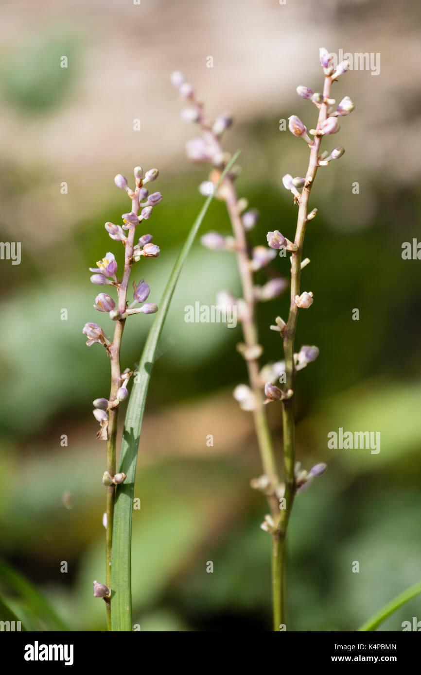 Pale levender flowers of the unusual species of low growing lily turf, Liriope koreana - Stock Image