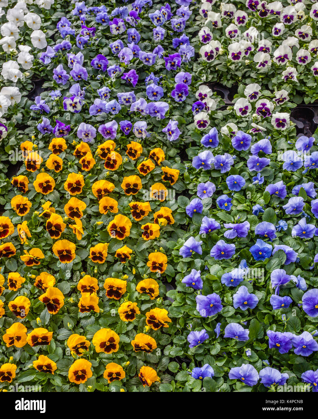 Netherlands, South Holland, Rotterdam, display of garden pansies at the Rotterdam market - Stock Image