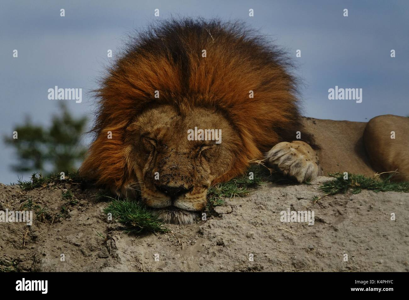 Male African lion sleeping close up - Stock Image