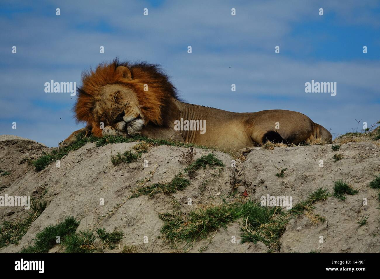 Male African lion sleeping on hill - Stock Image