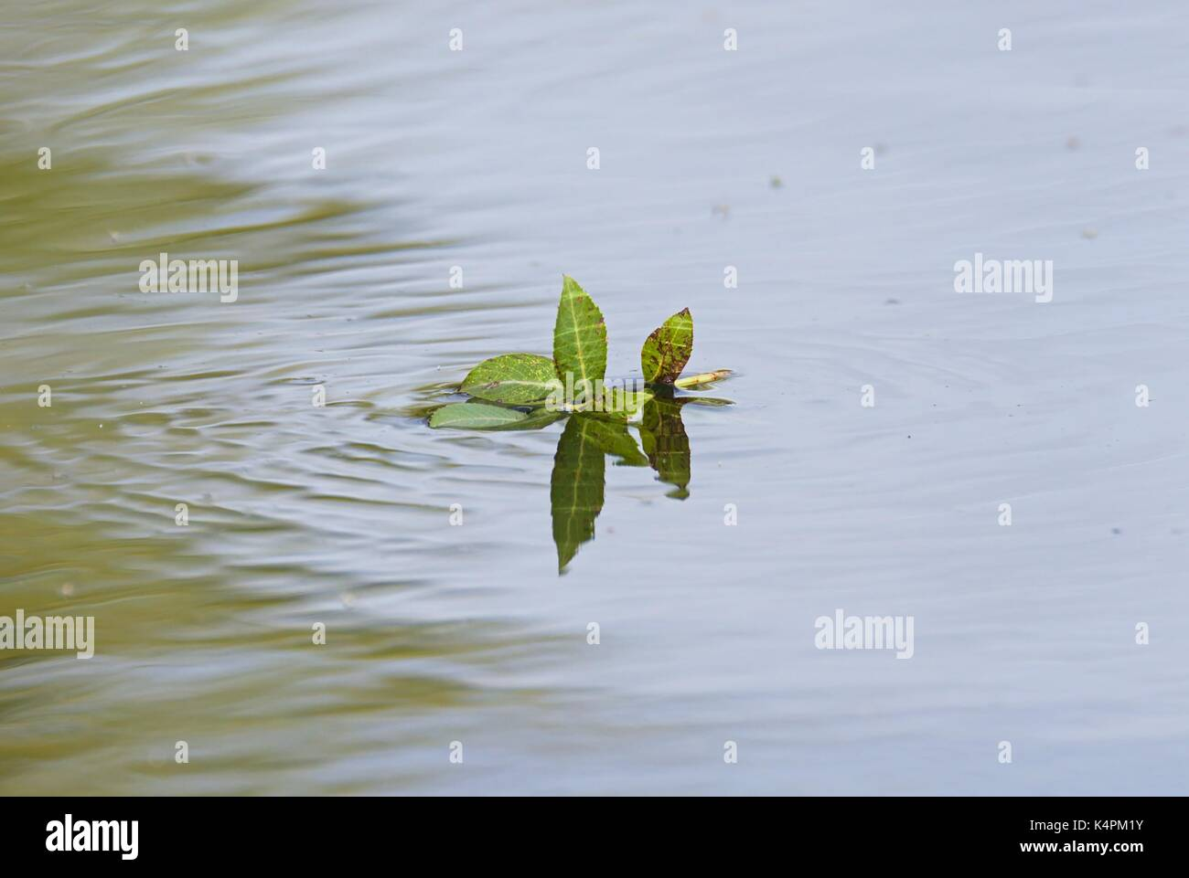 Stem with leaves floating on lake - Stock Image
