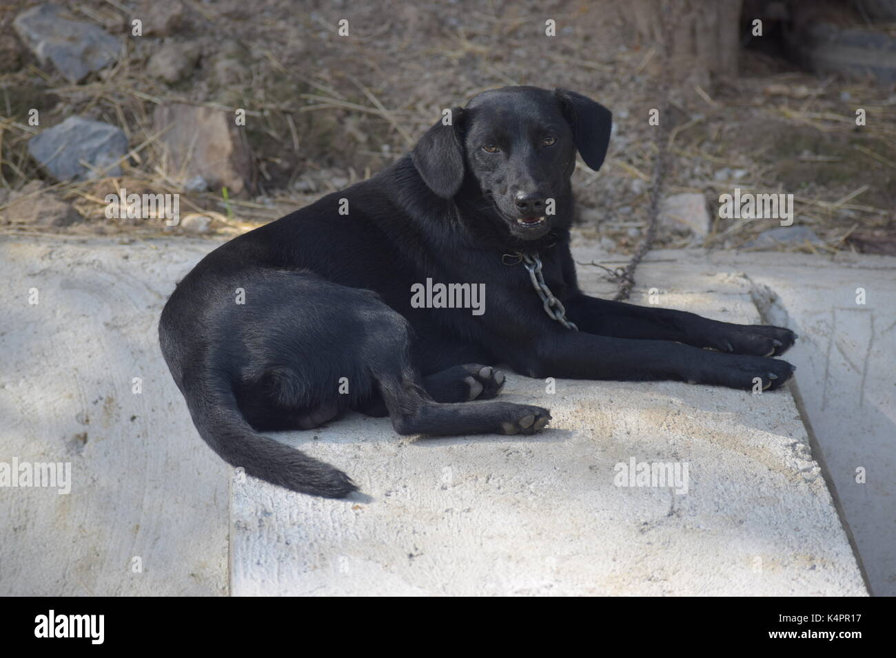 Large black dog on a chain - Stock Image