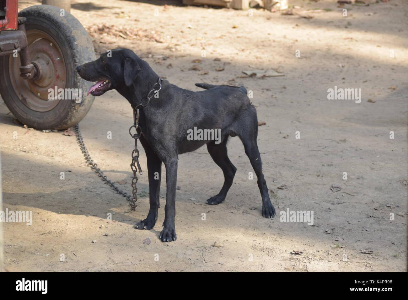 Large black dog - Stock Image