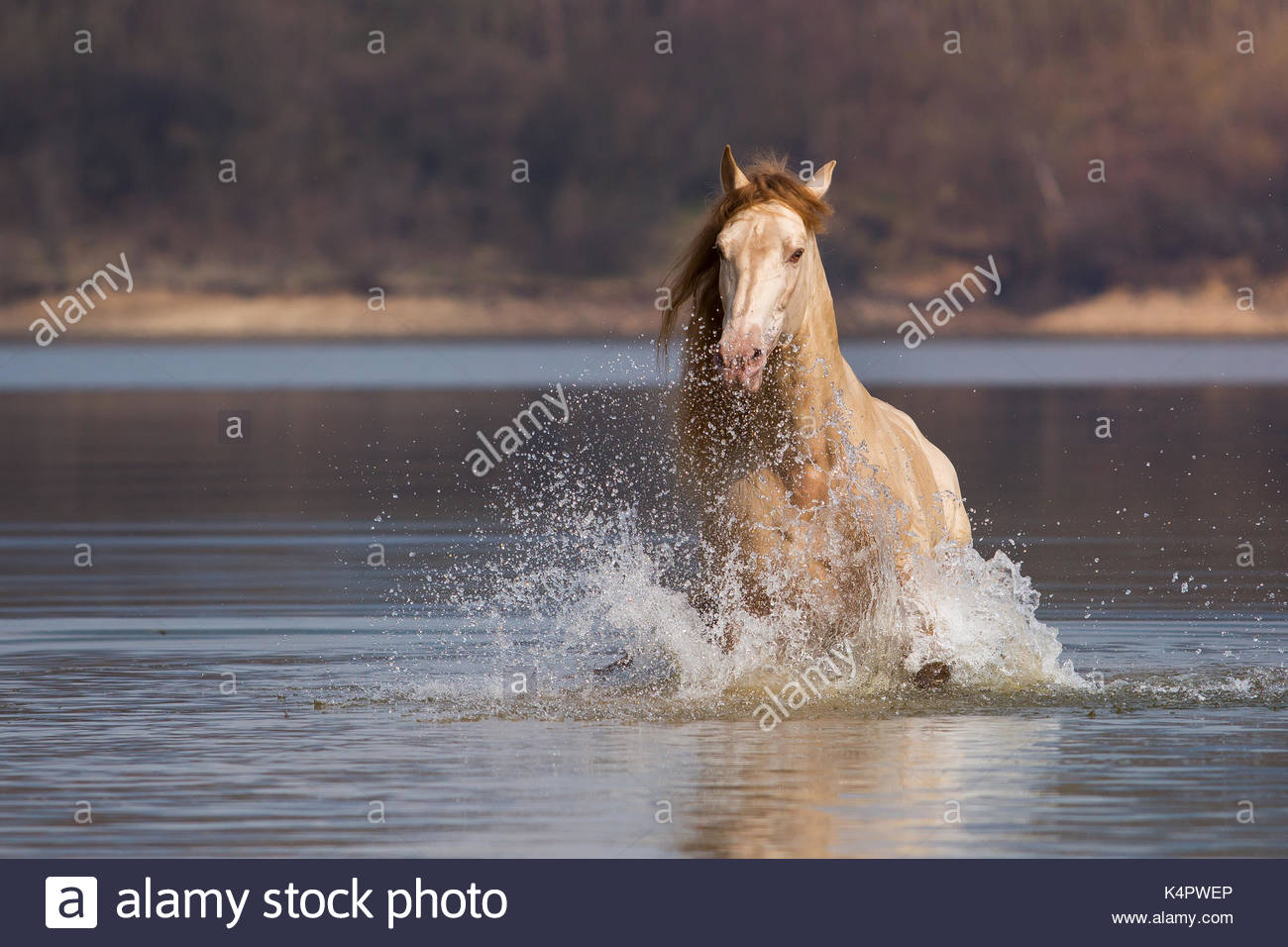 Golden Andalusian stallion in water Stock Photo