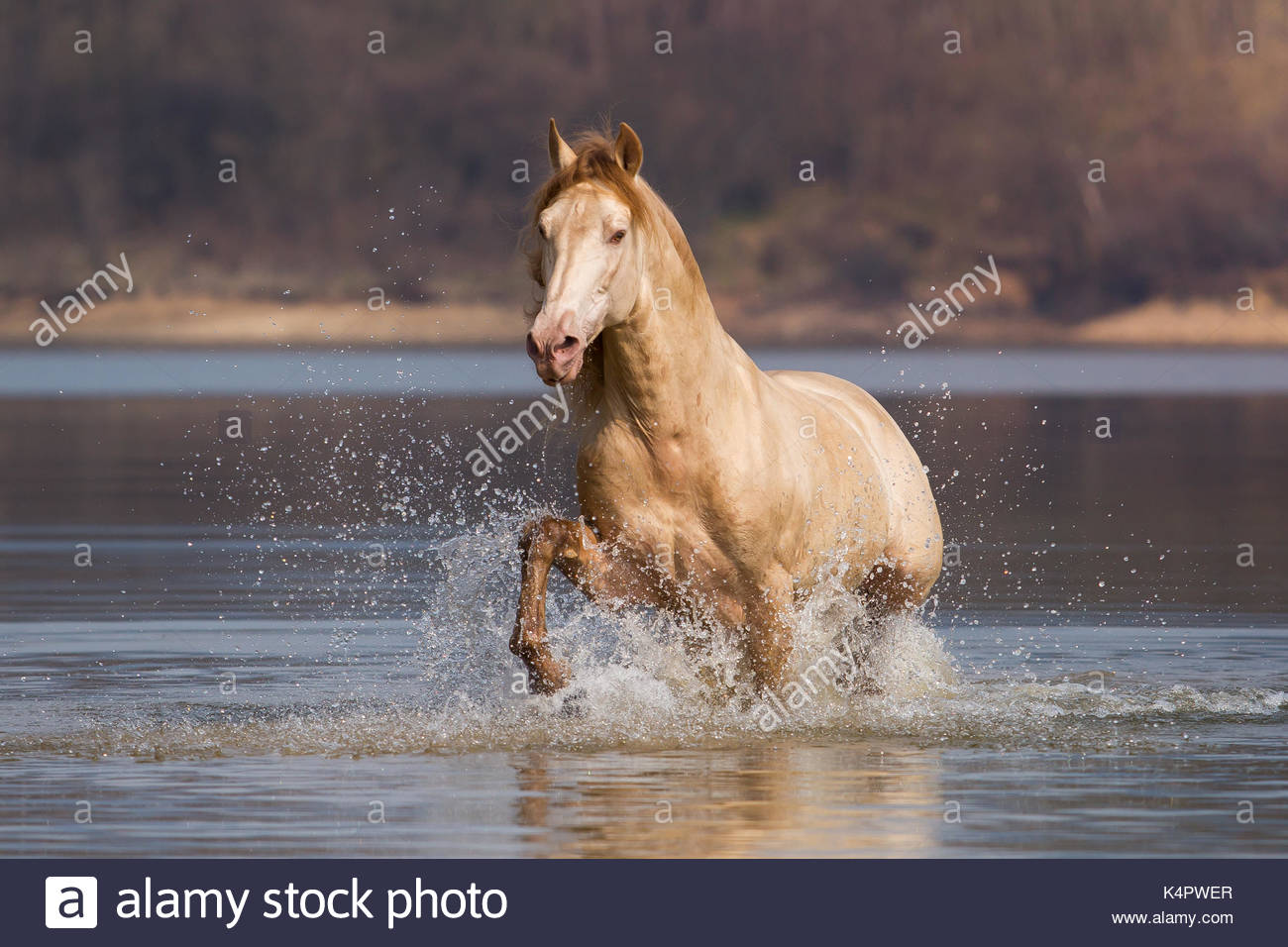 Golden Andalusian stallion in water - Stock Image