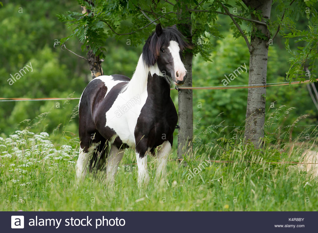 Black and white Gypsy Horse Cob Vanner colt - Stock Image