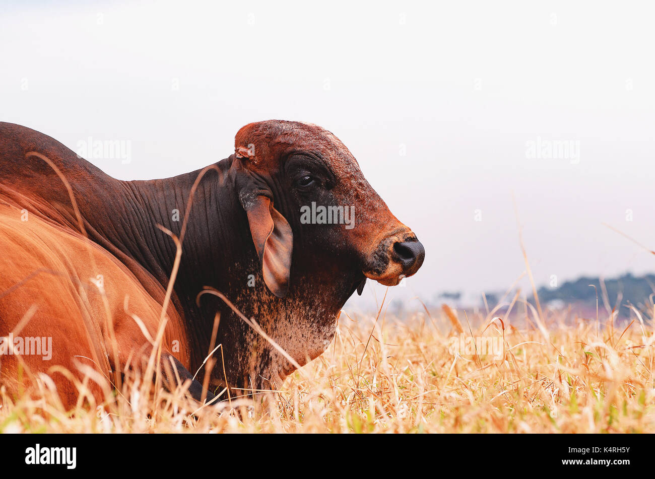 Big bull lying on the dry grass of a farm pasture. Farm animal with a big salience in his back. Reproductive animal. - Stock Image