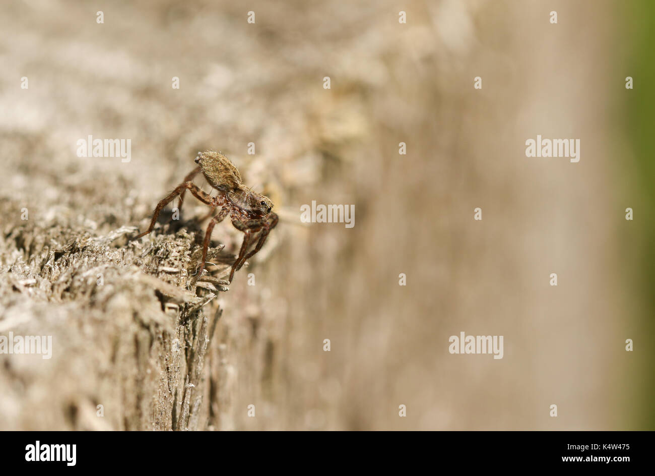 A hunting Wolf spider (Pardosa). - Stock Image