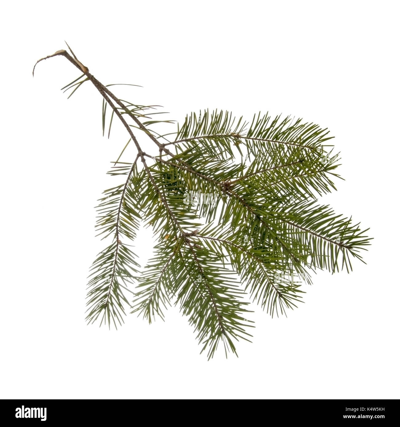 Two pine, fir twigs from a Christmas tree. Isolated on white. - Stock Image