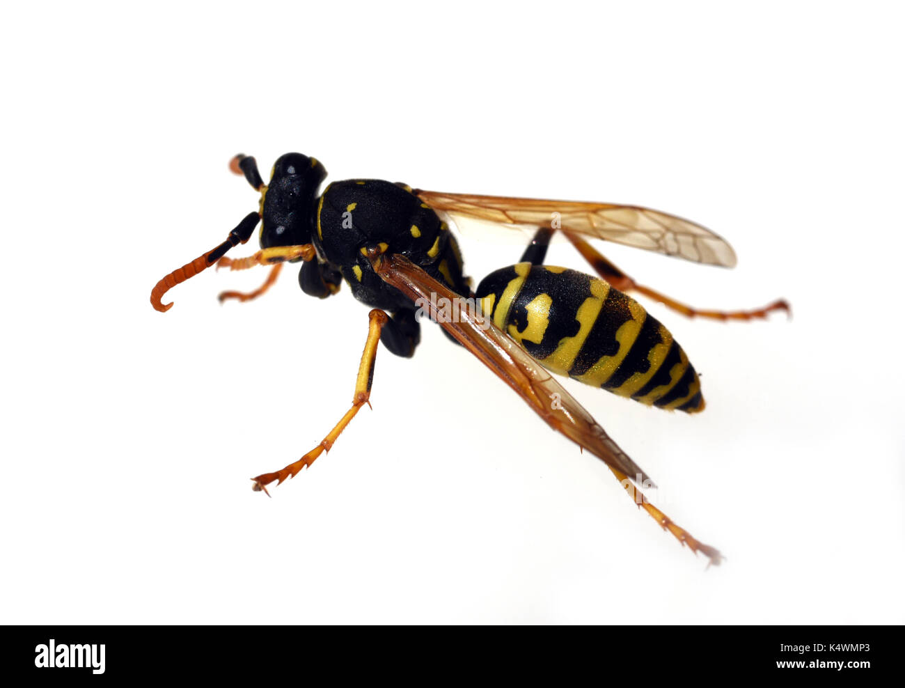 Wespe; Vespula; germanica Stock Photo