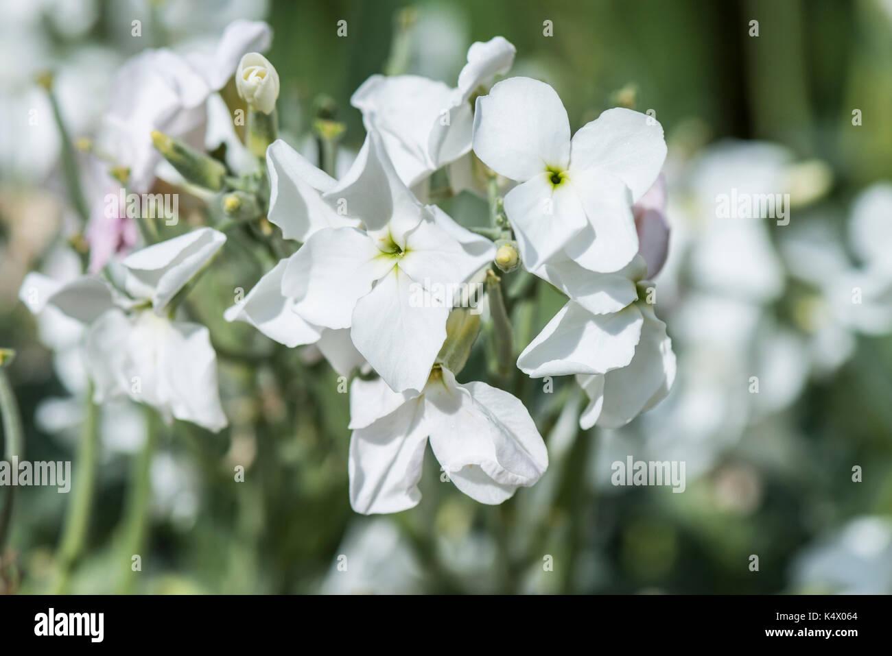 Night-scented Stock (Matthiola longipetala) Stock Photo