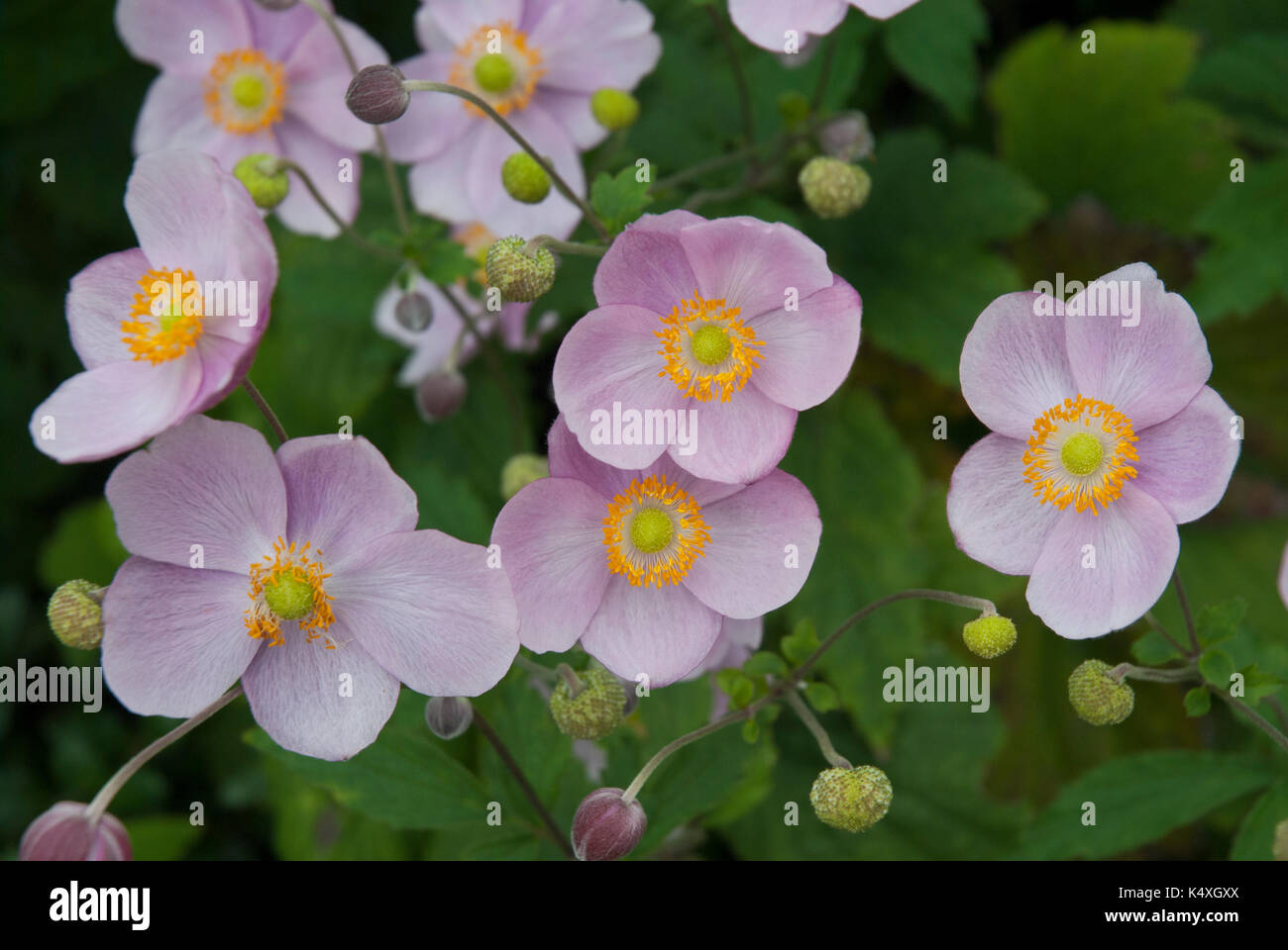 What is a Windflower? (with pictures) - wisegeek.com